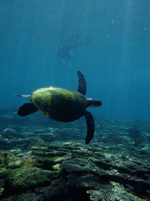 ウミガメ目の前泳いで行って