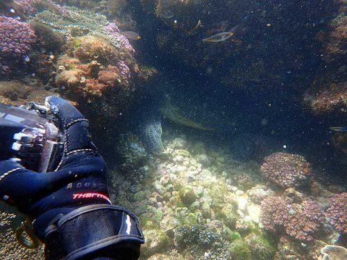岩陰にハマってたアオウミガメ