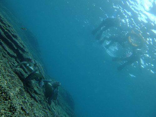 午後にはたくさんウミガメ集まってて