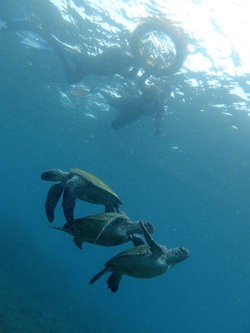 三段積みなアオウミガメ