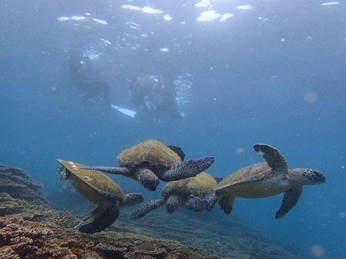 わらわら集まるアオウミガメ