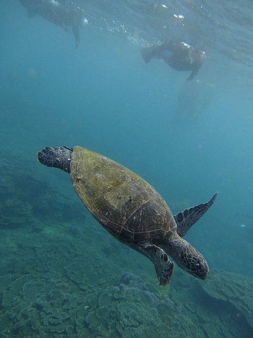 今日も泳いでるウミガメ見に行けて