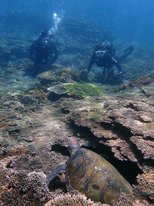 サンゴの隙間で休憩していたアオウミガメ