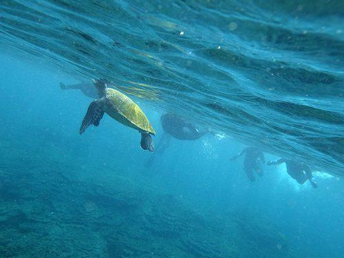 ぽこっと顔出すアオウミガメ