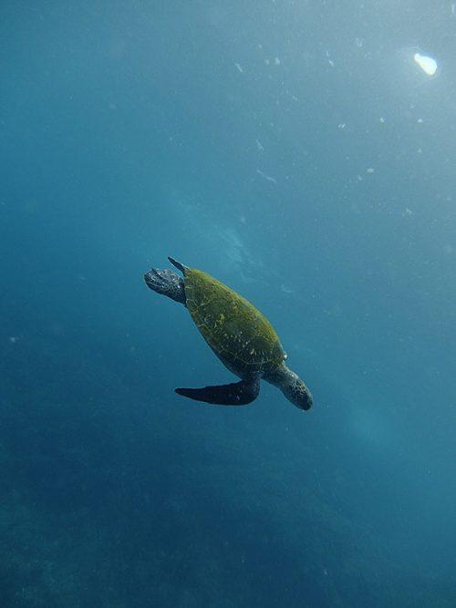 ウミガメ探して沖に出て