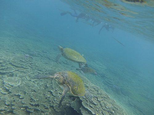 サンゴのところにはウミガメたくさん集まってたり