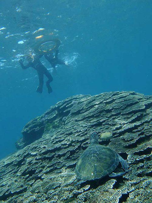 サンゴの上で休憩していたカメもいて