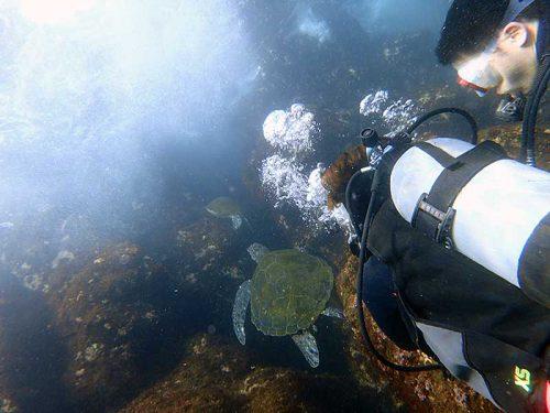 海草食べに集まってたアオウミガメ