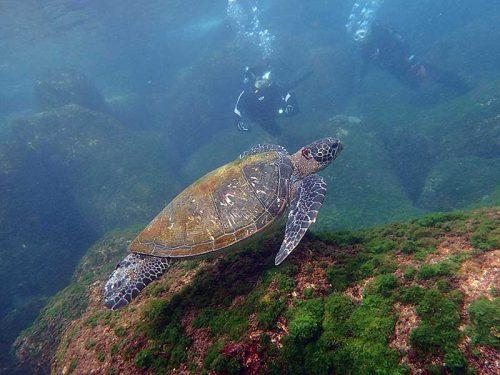のんびり浅場を泳いでたアオウミガメ