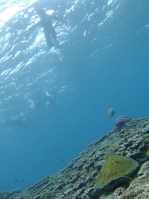 サンゴの間で休憩中のウミガメなんかも見て周り