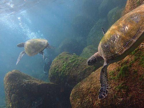 浅場に集まるアオウミガメ達