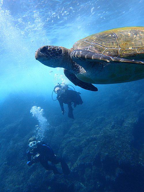浅場に集まってたアオウミガメ