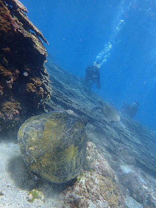 ちょっと泳ぐとウミガメたくさんおりまして