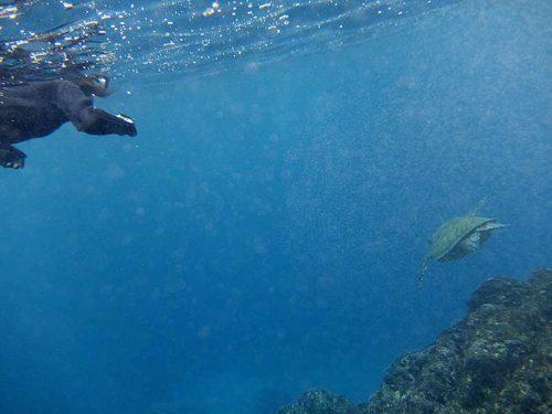 波打ち際でもウミガメ見つけ