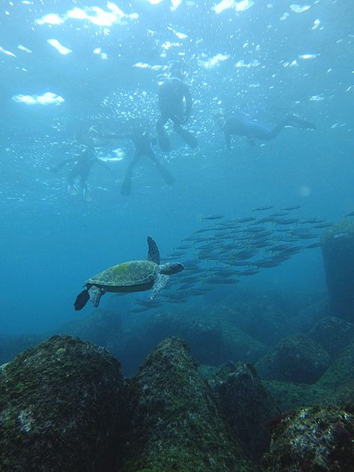 ムロアジの群れと一緒に泳いでたアオウミガメ