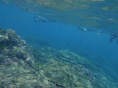 広がるサンゴの上には色々魚もおりまして