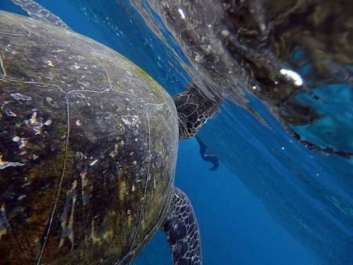 呼吸しに水面に上がってきていたアオウミガメ