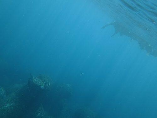 ちょっと濁りはありますがアオウミガメはおりまして