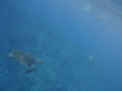 ちょっと泳げばウミガメたくさん見られたり