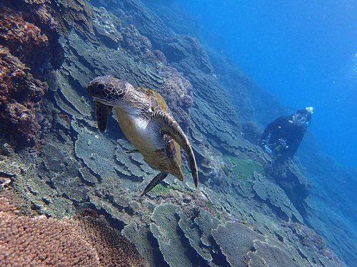 近場で食事していたアオウミガメ