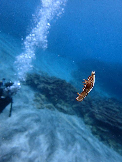 キャラメルウミウシ浮いてたり