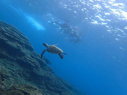 泳ぐウミガメみんなで見てみて
