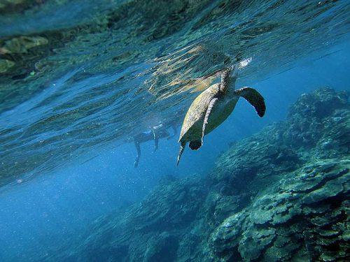 水面付近に上がってきていたアオウミガメや