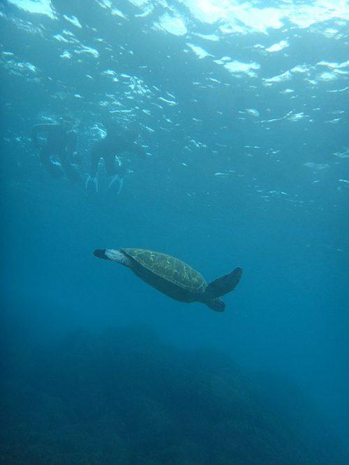 沖まで出ていきウミガメ見たり