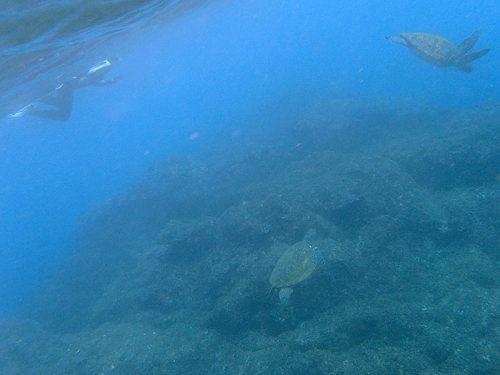 午後は近場にウミガメたくさんおりまして