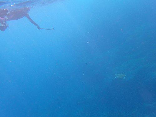 沖を周ればウミガメ泳いでおりまして