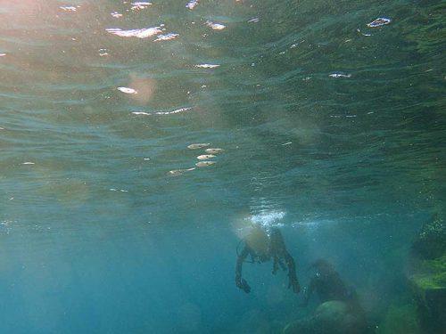 水面付近のアオリイカ見たり