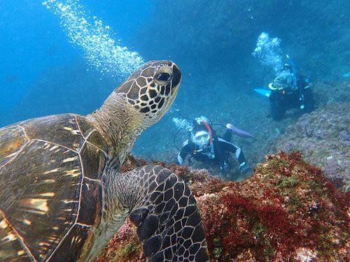 泳ぐウミガメ下から見上げ