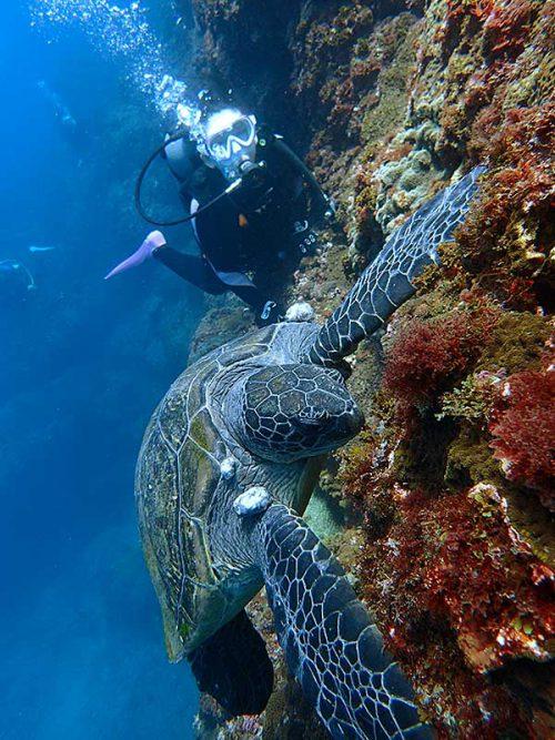 食事に夢中なウミガメを近くで眺め