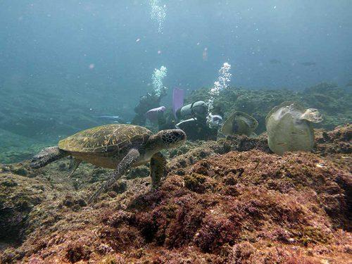 海草食べにわらわら集まるアオウミガメ