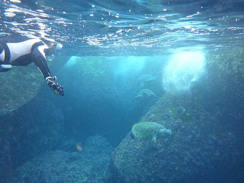 テトラの隙間に集まってたアオウミガメ