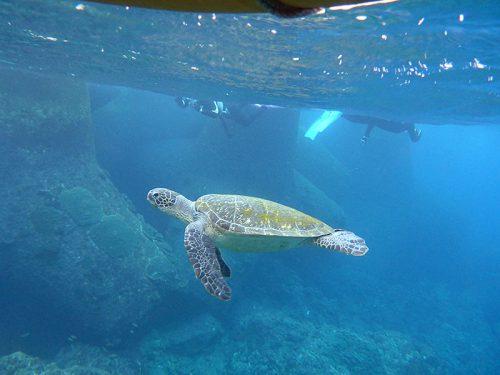 ウミガメのんびり泳いで通り