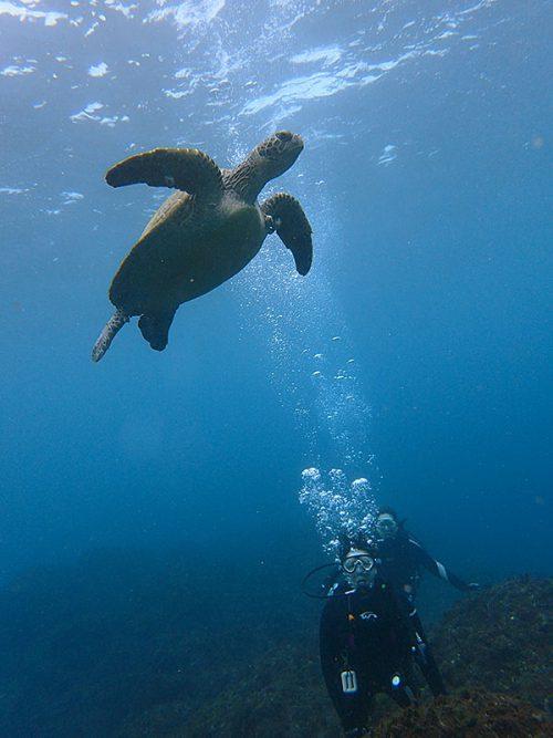 呼吸しに水面付近に上がって行ってたアオウミガメ