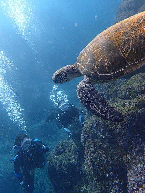 下から泳ぐウミガメ眺め