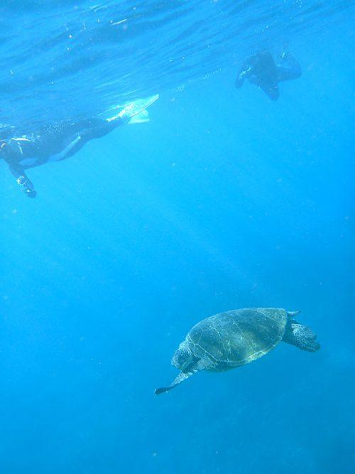 泳ぎながらモゾモゾしてたアオウミガメ