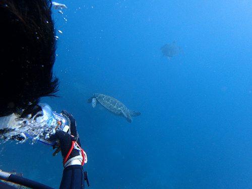 のんびりウミガメ泳いでいたり