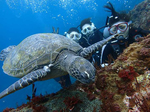 近場で海草食べてたアオウミガメ