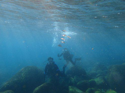 水面付近にはアオリイカの子ども達
