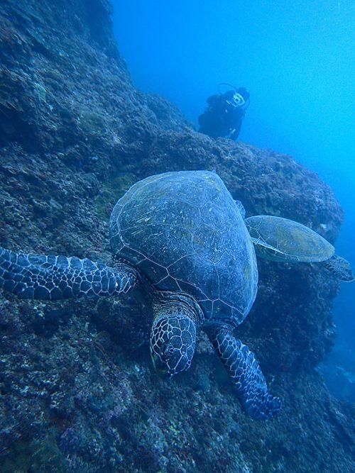 のんびり泳ぐウミガメ達