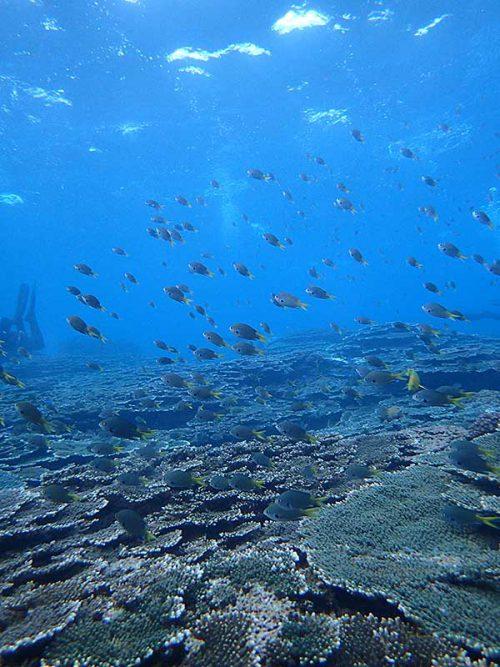 サンゴのところにもキホシスズメダイはたくさんいたり