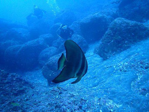 ひょろひょろ泳いできてたツバメウオ