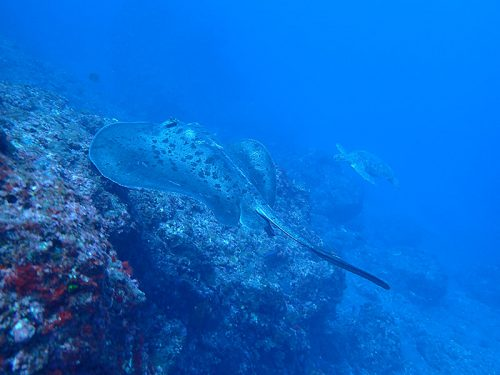 マダラエイとアオウミガメ