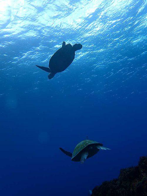 根上でアオウミガメ達のんびりしていて