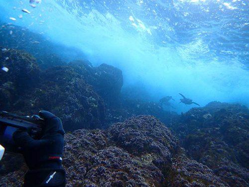 浅場にウミガメ集まってたり