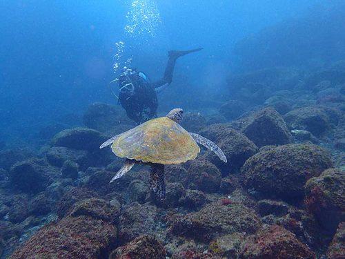 湾内にも今日はウミガメたくさんいたり