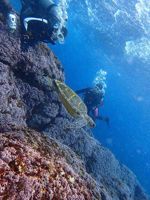 ちっこいウミガメ目の前泳いで通っていったり
